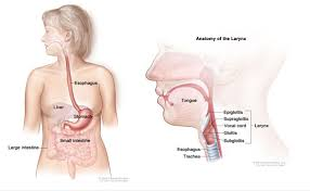 Esophagus And Stomach Anatomy Reset For Sun Damage And The New Treatment Of Esophagus Cancer