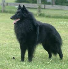 belgian shepherd breeds belgian shepherd jayde u0027s dog sheoda my breed pinterest