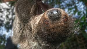 two toed sloth san diego zoo animals u0026 plants