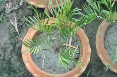 no sun plants plan name nimjhuri plant type indoor day light yes sunlight