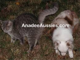 cat with australian shepherd toy australian shepherds