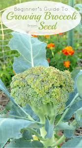 a beginner u0027s guide to growing broccoli from seed