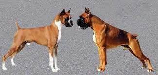 boxer dog european biswhizz dobermann american vs european