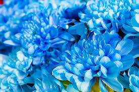 blue flowers free blue flowers images pictures and royalty free stock photos