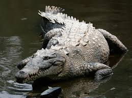 american crocodile wikipedia