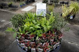 australian native garden plants muswellbrook forest nursery australian native specialist