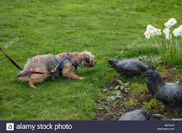 border terrier approaching bronze chickens in garden stock photo