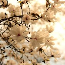 apple tree bloom wallpapers blooming magnolia tree 4k hd desktop wallpaper for 4k ultra hd