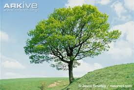 sessile oak photo quercus petraea a12461 arkive