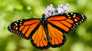 how you can help bring monarch butterflies and honey bees back