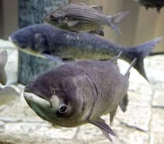 native minnesota plants dnr announces 1st capture of bighead carp in minnesota river