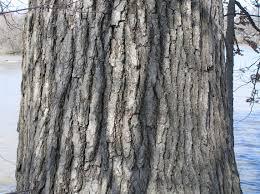 White Oak Tree Bark Native Trees Of Indiana River Walk