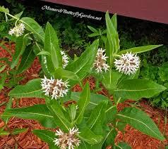 native plants hawaii asclepias speciosa showy milkweed for monarchs