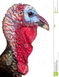 turkey up up of turkey meleagris gallopavo stock image image