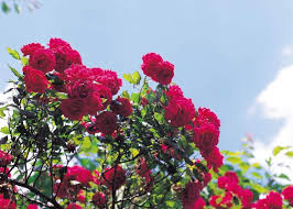 prune roses now for better blooms new jersey herald