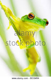 small green tree frog sitting on apple stock photo royalty