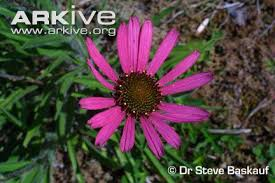Echinacea Flower Tennessee Purple Coneflower Videos Photos And Facts Echinacea