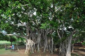 symbolism of a tree national tree of india banyan an essay