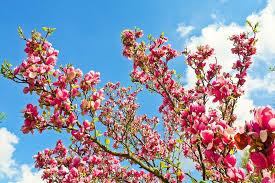 free photo magnolia tree flowers blossom free image on