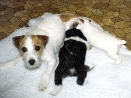 bearded collie x border collie puppies for sale the singleton puppy susan garrett u0027s dog training blog