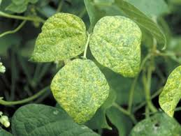 Plant Diseases With Pictures - arkansas vegetable diseases vegetable diseases in arkansas
