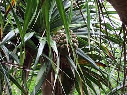 plants native to madagascar the endemic flora in mauritius so precious