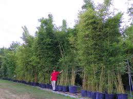bambusa multiplex is a good clumping bamboo that grows 6 u0027 to 15