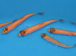 species profile golden orfe that fish