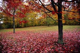 backdrops beautiful attractive backdrops beautiful maple leaf photo background