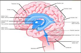 Which Part Of The Brain Consists Of Two Hemispheres Brain Biology Encyclopedia Cells Body Function Human