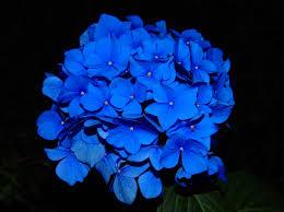 blue flower free images nature blossom flower petal bloom floral blue