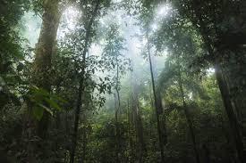 Dominant Plants Of The Tropical Rainforest - tropical rainforest biome location temperature precipitation