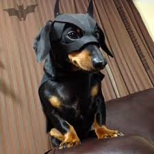 Halloween Costumes Miniature Dachshunds Halloween Dachshund Costumes U0026 Update Crusoe Celebrity
