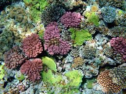 jatropha wikipedia coral reef wikipedia the free encyclopedia coral pinterest