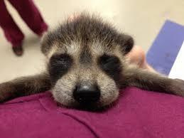 raccoons u2013 a cute a day