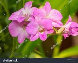 Dendrobium Orchid Dendrobium Orchid Beautiful Pink White Flowers Stock Photo