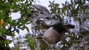 alligator claws jaws and claws alligators eat small sharks more often than we