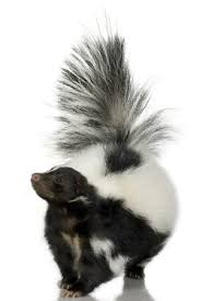 How To Get Rid Of A Skunk In Your Backyard How To Get Rid Of A Skunk Bob Vila