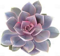 Succulent Plant Cactus Succulent Plant Vector Illustration Stock Vector Art
