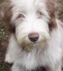 bearded collie x terrier bearded collie bearded collie collie and dog
