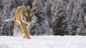 siberian tiger safari russia wildlife safaris