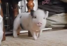 Work Work Work Meme - piglet twerks to rihanna in brilliant video that has amassed 26