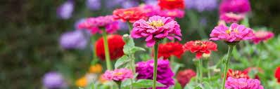 zinnias flowers zinnia seeds grow beautiful flowers 1 95