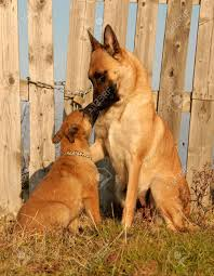belgian shepherd video female purebred belgian shepherd malinois and her puppy stock