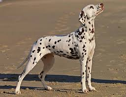 span dalmatian