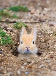 rabbit rabbit bunny rabbit poking it s out of borrow luvbat
