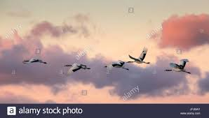 japanese red crested cranes flying above akan in hokkaido at