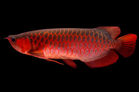 meet the world u0027s most expensive pet fish