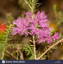 small native plants for australian gardens pink mauve flowers of melaleuca thymifolia u0027cotton candy u0027 an