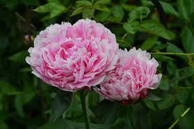 peonies flowers peony flowers free stock photos 11 059 free stock photos